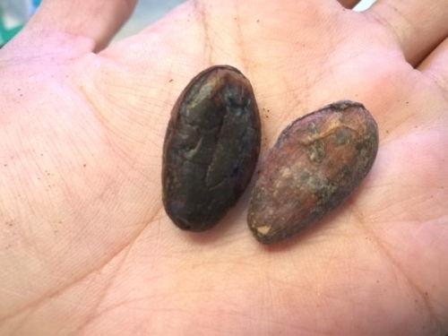 カカオ豆からチョコレート